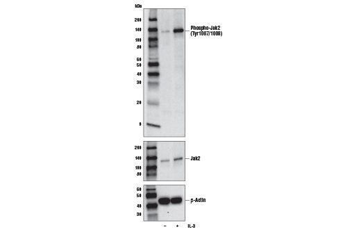 Western blot analysis of extracts from BaF3 cells, untreated (-) or treated with mouse IL-3 (10ng/ml, 5 min; +), using Phospho-Jak1 (Try1034/1035)/Jak2 (Tyr1007/1008) (E9Y7V) Mouse mAb (upper), Jak2 (D2E12) XP<sup>®</sup> Rabbit mAb #3230 (middle), or β-Actin (D6A8) Rabbit mAb #8457 (lower).