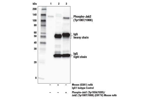 Immunoprecipitation of Phospho-Jak2 (Tyr1007/1008) from BaF3 cell extracts treated with mouse IL-3 (10ng/ml, 5 min). Lane 1 is 10% input, lane 2 is Mouse (G3A1) mAb IgG1 Isotype Control #5415, and lane 3 is Phospho-Jak1 (Tyr1034/1035)/Jak2 (Tyr1007/1008) (E9Y7V) Mouse mAb. Western blot analysis was performed using Phospho-Jak1 (Tyr1034/1035)/Jak2 (Tyr1007/1008) (E9Y7V) Mouse mAb.