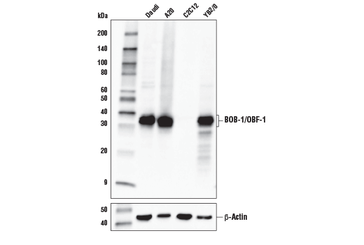 Polyclonal Antibody - BOB-1/OBF-1 Antibody - Western Blotting, UniProt ID Q16633, Entrez ID 5450 #33483, Lineage Markers