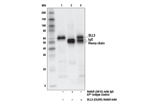 Immunoprecipitation of DLL3 protein from NCI-H524 cell extracts. Lane 1 is 10% input, lane 2 is Rabbit (DA1E) mAb IgG XP<sup>®</sup> Isotype Control #3900, and lane 3 is DLL3 (E3J5R) Rabbit mAb. Western blot analysis was performed using</p><p>DLL3 (E3J5R) Rabbit mAb.