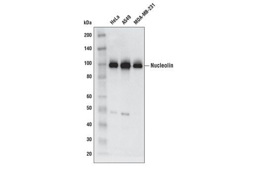 Western blot analysis of extracts from HeLa, A549, and MDA-MB-231 cells using Nucleolin (E5M7K) Mouse mAb.