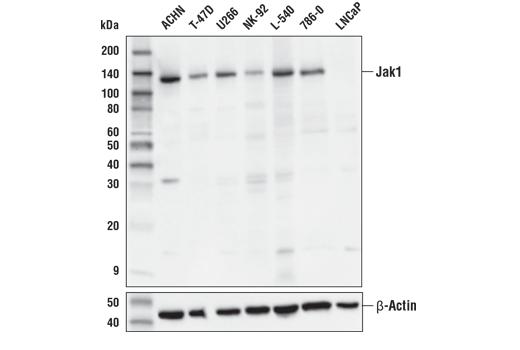 Monoclonal Antibody - Jak1 (E3A6M) Rabbit mAb - Immunoprecipitation, Western Blotting, UniProt ID P23458, Entrez ID 3716 #29261, Jak/Stat Pathway