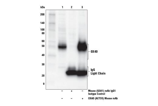 Monoclonal Antibody Immunofluorescence Immunocytochemistry