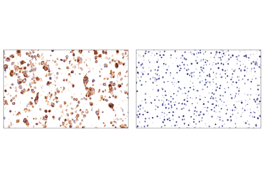 Immunohistochemical analysis of paraffin-embedded HuT 102 cell pellet (left, positive) or Jurkat cell pellet (right, negative) using OX40 (ACT35) Mouse mAb.