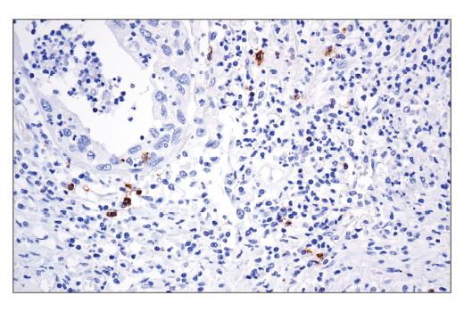 Monoclonal Antibody Immunofluorescence Immunocytochemistry Secretion