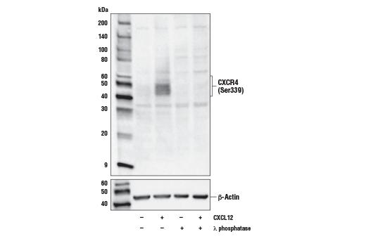 Polyclonal Antibody - Phospho-CXCR4 (Ser339) Antibody - Western Blotting, UniProt ID P61073, Entrez ID 7852 #59028, Lymphocyte Signaling