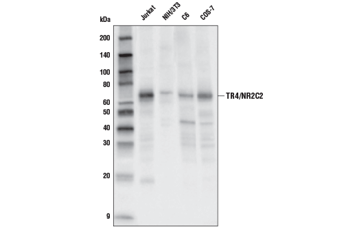 Western blot analysis of extracts from various cell lines using TR4/NR2C2 Antibody.