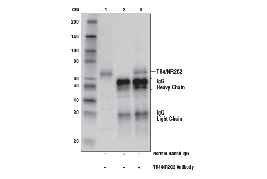 Immunoprecipitation of TR4/NR2C2 from Jurkat cell extracts. Lane 1 is 10% input, lane 2 is Normal Rabbit IgG #2729, and lane 3 is TR4/NR2C2 Antibody. Western blot analysis was performed using TR4/NR2C2 Antibody.