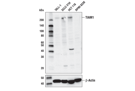 Polyclonal Antibody Western Blotting Ephrin Receptor Binding