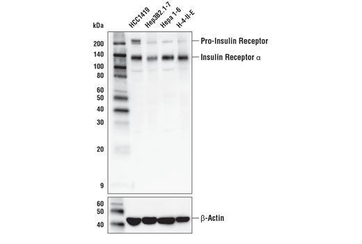 Western blot analysis of extracts from various cell lines using Insulin Receptor α (D3U7I) Rabbit mAb (upper) and β-Actin (D6A8) Rabbit mAb #8457 (lower).
