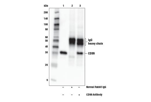 Polyclonal Antibody - CD99 Antibody - Immunoprecipitation, Western Blotting, UniProt ID P14209, Entrez ID 4267 #16121 - Immunology and Inflammation