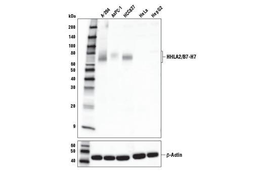 Monoclonal Antibody - HHLA2/B7-H7 (E1U6X) Rabbit mAb - Western Blotting, UniProt ID Q9UM44, Entrez ID 11148 #52200, Translational Research