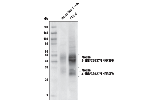Polyclonal Antibody - 4-1BB/CD137/TNFRSF9 Antibody (Mouse Specific), UniProt ID P20334, Entrez ID 21942 #85495 - #85495