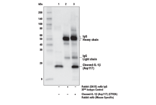 Immunoprecipitation of Cleaved-IL-1β (Asp117) from extracts of media from mouse bone marrow derived macrophages (mBMDM) treated with LPS #14011 (50 ng/ml, 4 hr) followed by nigericin (15 μM, 45 min). Lane 1 is 10% input, lane 2 is Rabbit (DA1E) mAb IgG XP<sup>®</sup> Isotype Control #3900, and lane 3 is Cleaved-IL-1β (Asp117) (E7V2A) Rabbit mAb (Mouse Specific). Western blot was performed using Cleaved-IL-1β (Asp117) (E7V2A) Rabbit mAb (Mouse Specific). Anti-Rabbit IgG, HRP-linked Antibody #7074 was used as a secondary antibody.