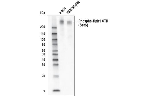 Monoclonal Antibody - Phospho-Rpb1 CTD (Ser5) (D9N5I) Rabbit mAb (Biotinylated), UniProt ID P24928, Entrez ID 5430 #67221