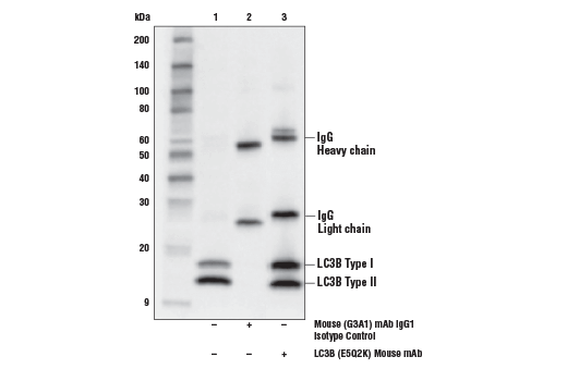 Immunoprecipitation of LC3B from HeLa cells treated with Chloroquine (50 μM, overnight) # 14774. Lane 1 is 10% input, lane 2 is Mouse (G3A1) mAb IgG1 Isotype Control, and lane 3 is LC3B (E5Q2K) Mouse mAb. Western blot was performed using LC3B (E5Q2K) Mouse mAb. Anti-mouse IgG, HRP-linked Antibody #7076 was used as a secondary antibody.
