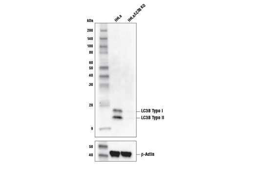 Western blot analysis of extracts from HeLa cells or HeLa cells with a knockout of LC3B (HeLa/LC3B KO) using LC3B (E5Q2K) Mouse mAb (upper) or β-Actin (D6A8) Rabbit mAb #8457 (lower).