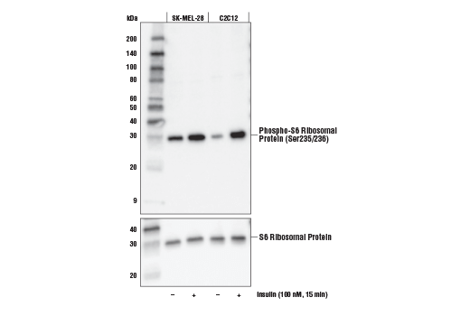Western blot analysis of extracts from SK-MEL-28 and C2C12 cells, untreated (-) or treated with insulin (100 nM, 15 min; +), using Phospho-S6 Ribosomal Protein (Ser235/236) (E2R1O) Mouse mAb (upper) and S6 Ribosomal Protein (54D2) Mouse mAb #2317 (lower).