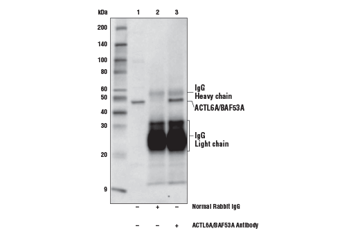 Immunoprecipitation of ACTL6A/BAF53A from HeLa cell extracts. Lane 1 is 10% input, lane 2 is Normal Rabbit IgG #2729, and lane 3 is ACTL6A/BAF53A Antibody. Western blot analysis was performed using ACTL6A/BAF53A Antibody and Mouse Anti-Rabbit IgG (Light-Chain Specific) (D4W3E) mAb (HRP Conjugate) #93702 as the secondary antibody.