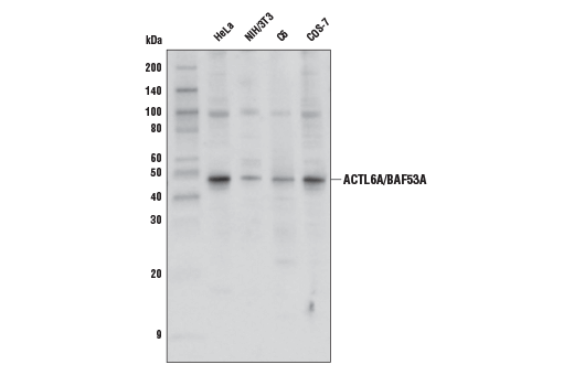 Western blot analysis of extracts from various cell lines using ACTL6A/BAF53A Antibody.
