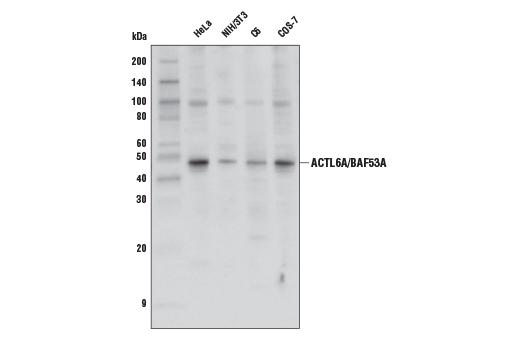 Polyclonal Antibody Immunoprecipitation Spinal Cord Development