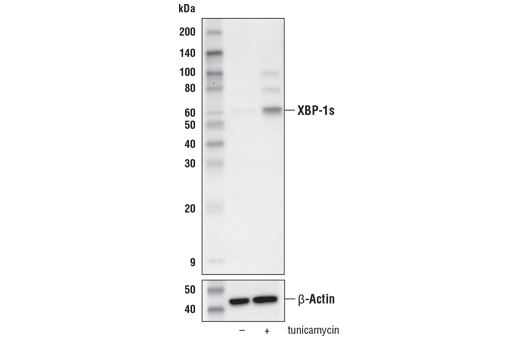 Western blot analysis of extracts from 293T cells, untreated (-) or treated with tunicamycin #12819 (2 μg/ml, 8 hr; +), using XBP-1s (E8C2Z) Mouse mAb (upper) and β-Actin (D6A8) Rabbit mAb #8457 (lower).