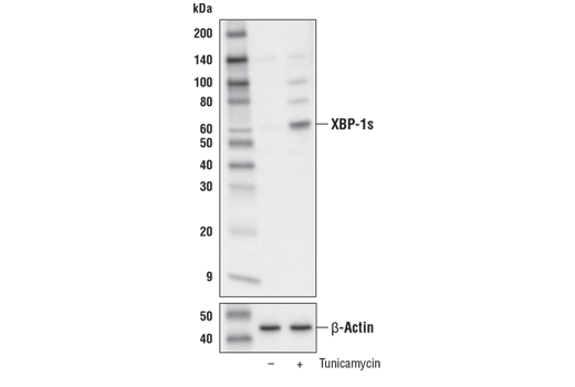 Western blot analysis of extracts from 293T cells, untreated (-) or treated with tunicamycin #12819 (2 μg/ml, 8 hr; +), using XBP-1s (E7M5C) Mouse mAb (upper) and β-Actin (D6A8) Rabbit mAb #8457 (lower).