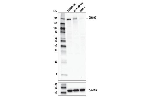 Polyclonal Antibody - CD109 Antibody - Immunoprecipitation, Western Blotting, UniProt ID Q6YHK3, Entrez ID 135228 #35717 - Primary Antibodies