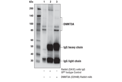 Immunoprecipitation of DNMT3A from NCCIT cell extracts. Lane 1 is 10% input, lane 2 is Rabbit (DA1E) mAb IgG XP<sup>®</sup> Isotype Control #3900, and lane 3 is DNMT3A (D2H4B) Rabbit mAb. Western blot analysis was performed using DNMT3A (E9P2F) Rabbit mAb #49768.