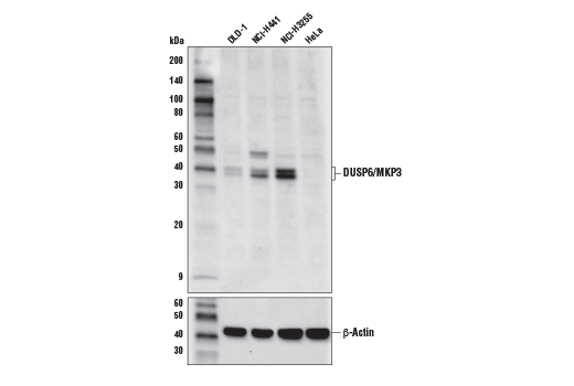 Western blot analysis of extracts from various cell lines using DUSP6/MKP3 Antibody (upper) or β-Actin (D6A8) Rabbit mAb #8457 (lower).