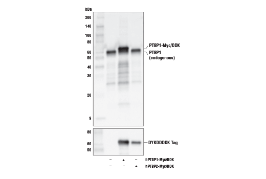 Monoclonal Antibody Immunoprecipitation Rna Splicing