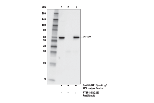 Immunoprecipitation Image 1: PTBP1 (E5O2S) Rabbit mAb
