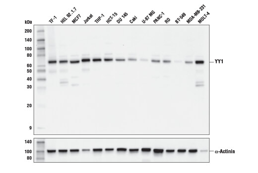Western blot analysis of extracts from various cell lines using YY1 (D3D4Q) Rabbit mAb.