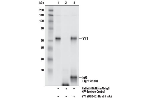 Immunoprecipitation of YY1 from MOLT-4 cell extracts. Lane 1 is 10% input, lane 2 is Rabbit (DA1E) mAb IgG XP<sup>®</sup> Isotype Control #3900, and lane 3 is YY1 (D3D4Q) Rabbit mAb. Western blot analysis was performed using YY1 (D3D4Q) Rabbit mAb. Mouse Anti-Rabbit IgG (Light-Chain Specific) (D4W3E) mAb (HRP Conjugate) #93702 was used as the secondary antibody.