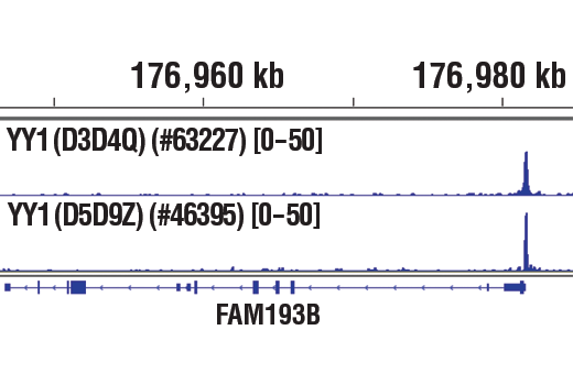 Chromatin immunoprecipitations were performed with cross-linked chromatin from K562 cells and either YY1 (D3D4Q) Rabbit mAb or YY1 (D5D9Z) Rabbit mAb #46395, using SimpleChIP<sup>®</sup> Plus Enzymatic Chromatin IP Kit (Magnetic Beads) #9005. DNA Libraries were prepared using SimpleChIP<sup>®</sup> ChIP-seq DNA Library Prep Kit for Illumina<sup>®</sup> #56795. The figure shows binding across FAM193M, a known target gene of YY1 (see additional figures containing ChIP-qPCR data). For additional ChIP-seq tracks, please download the product data sheet.