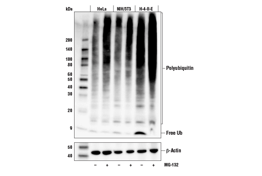Western blot analysis of extracts from HeLa, NIH/3T3, and H-4-II-E cells, untreated (-) or treated with MG-132 #2194 (10μM, 90min; +), using Ubiquitin (E4I2J) Rabbit mAb (upper) and β-Actin (D6A8) Rabbit mAb #8457 (lower).