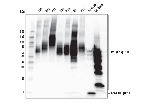 Image 12: MHC Class I Antigen Processing and Presentation Antibody Sampler Kit