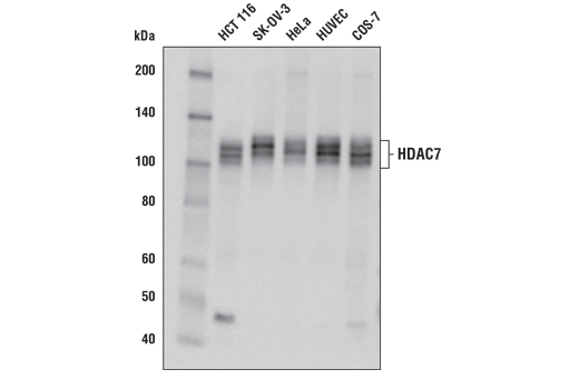 Western blot analysis of extracts from various cell lines using HDAC7 (E7O8V) Rabbit mAb.