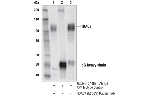 Immunoprecipitation of HDAC7 from HCT 116 cell extracts. Lane 1 is 10% input, lane 2 is Rabbit (DA1E) mAb IgG XP<sup>®</sup> Isotype Control #3900, and lane 3 is HDAC7 (E7O8V) Rabbit mAb. Western blot analysis was performed using HDAC7 (E7O8V) Rabbit mAb.