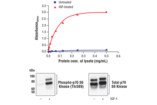 Figure 1. Treatment of MCF7 cells with IGF-1 stimulates phosphorylation of p70 S6 kinase at Thr389 but does not affect the level of total p70 S6 kinase. The relationship between lysate protein concentration from untreated and IGF-1-treated MCF7 cells and the absorbance at 450 nm using the FastScan™ Phospho-p70 S6 Kinase (Thr389) ELISA Kit #54164 is shown in the upper figure. The corresponding western blots using phospho-p70 S6 Kinase (Thr389) antibody (left panel) and p70 S6 Kinase antibody (right panel) are shown in the lower figure. After serum starvation, MCF7 cells were treated with 100 ng/ml hIGF-I #8917 for 20 minutes at 37°C and then lysed.
