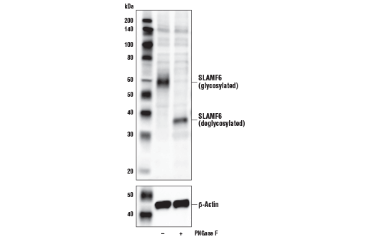 Western blot analysis of extracts from Daudi cells, untreated (-) or treated with PNGase F (+), using SLAMF6/CD352 Antibody (upper) and β-Actin (D6A8) Rabbit mAb #8457 (lower).