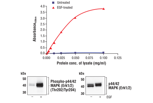 Figure 1. Treatment of A-431 cells with EGF stimulates phosphorylation of p44/42 MAPK (Erk1/2) at Thr202 and Tyr204 but does not effect the level of total p44/42 MAPK (Erk1/2). The relationship between lysate protein concentration from untreated and EGF-treated A-431 cells and the absorbance at 450 nm using the FastScan™ Phospho-p44/42 MAPK (Erk 1/2) (Thr202/Tyr204) ELISA Kit #42173 is shown in the upper figure. The corresponding western blots using phospho-p44/42 MAPK (Erk1/2) (Thr202/Tyr204) antibody (left panel) and p44/42 MAPK (Erk1/2) antibody (right panel) are shown in the lower figure. After serum starvation, A-431 cells were treated with 100 ng/ml EGF #8916 for 5 minutes at 37°C and then lysed.