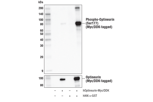 Western blot analysis of extracts from 293T cells, mock transfected (-) or transfected with constructs expressing Myc/DDK-tagged human Optineurin (hOptineurin-Myc/DDK; +) and GST-tagged human IKK-ε (hIKK-ε-GST; +) as indicated, using Phospho-Optineurin (Ser177) Antibody (upper) or Myc-Tag (71D10) Rabbit mAb #2278 (lower).