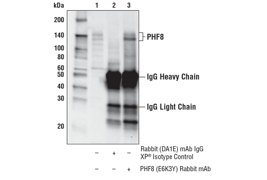 Immunoprecipitation of PHF8 from MOLT-4 cell extracts. Lane 1 is 10% input, lane 2 is Rabbit (DA1E) mAb IgG XP<sup>®</sup> Isotype Control #3900, and lane 3 is PHF8 (E6K3Y) Rabbit mAb. Western blot analysis was performed using PHF8 (E6K3Y) Rabbit mAb.