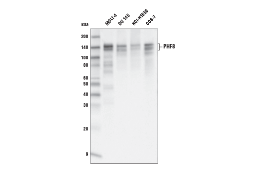 Western blot analysis of extracts from various cell lines using PHF8 (E9R4F) Rabbit mAb.