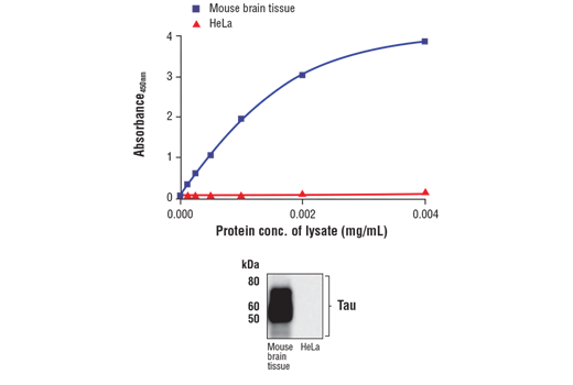 Figure 1. Tau protein is expressed in mouse brain but absent in HeLa cells. The relationship between lysate protein concentration from mouse brain and HeLa cells and the absorbance at 450 nm using the FastScan™ Total Tau ELISA Kit #57519 is shown in the upper figure. The corresponding western blot using a Tau antibody is shown in the lower figure. Mouse brain tissue or unstarved HeLa (90% confluence) cells were collected and then lysed.