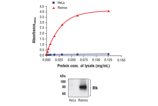 Figure 1. Btk protein is expressed in Ramos cells but absent in HeLa cells. The relationship between lysate protein concentration from Ramos and HeLa cells and the absorbance at 450 nm using the FastScan™ Total Btk ELISA Kit #36609 is shown in the upper figure. The corresponding western blot using a Btk antibody is shown in the lower figure. Unstarved Ramos (1.0 x10<sup>6</sup> cells/ml) or HeLa (90% confluence) cells were harvested and then lysed.