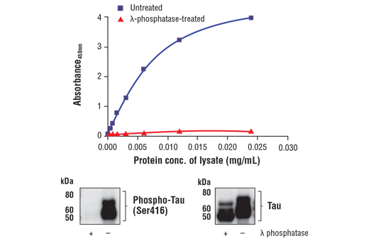 Figure 1. Phosphorylation of Tau at Ser416 in untreated mouse brain extracts can be detected using FastScan™ Phospho-Tau (Ser416) ELISA Kit #90554, but not in λ phosphatase-treated. The relationship between lysate protein concentration from untreated and λ phosphatase-treated mouse brain extracts and the absorbance at 450 nm using the ELISA Kit #90554 is shown in the upper figure. The corresponding western blots using phospho-Tau (Ser416) antibody (left panel) and Tau antibody (right panel) are shown in the lower figure. Collected mouse brain tissues were lysed and then either untreated or treated with λ phosphatase.