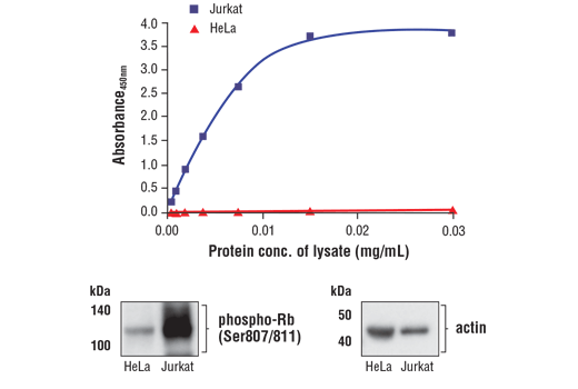 Figure 1. Jurkat cells express significantly higher levels of phospho-Rb (Ser807/811) compared with HeLa cells. The relationship between lysate protein concentration from Jurkat and HeLa cells and the absorbance at 450 nm as detected by FastScan™ Phospho-Rb (Ser807/811) ELISA Kit #10754 is shown in the upper figure. The corresponding western blots using a phospho-Rb (Ser807/811)antibody (left panel) and an actin antibody (right panel) are shown in the lower figure.