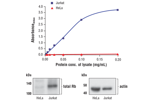 Figure 1. Jurkat cells express significantly higher levels of total Rb compared with HeLa cells. The relationship between lysate protein concentration from Jurkat and HeLa cells and the absorbance at 450 nm as detected by FastScan™ Total Rb ELISA Kit #23595 is shown in the upper figure. The corresponding western blots using a total Rb antibody (left panel) and an actin antibody (right panel) are shown in the lower figure.